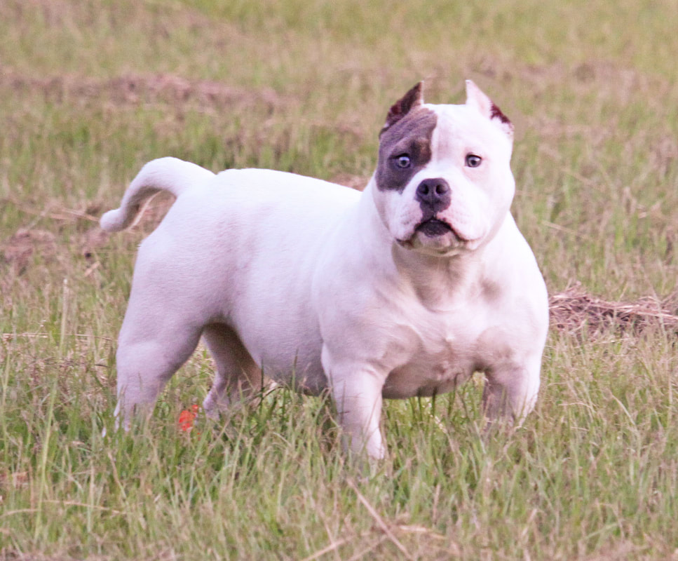Sneezy - Ultimate Blue Pitbulls | Pitbull Puppies for sale